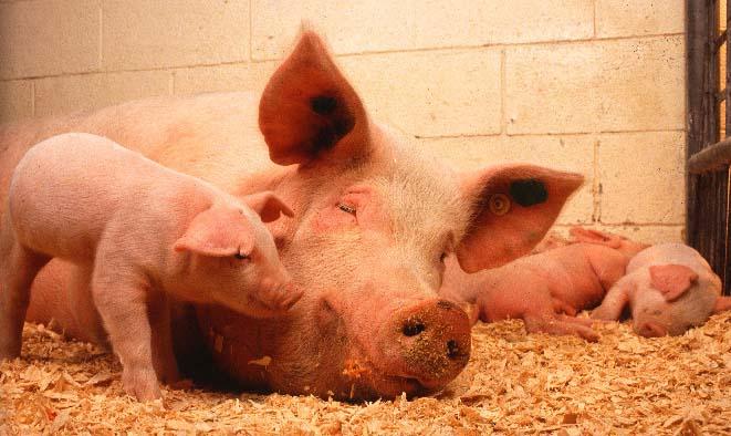 Обогрев животноводческих ферм